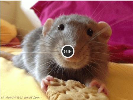 Гифки крысы