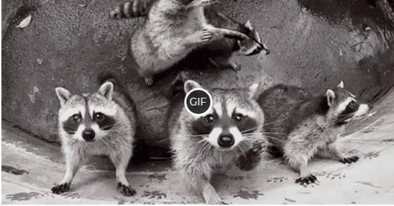 Гифки с енотами смешные