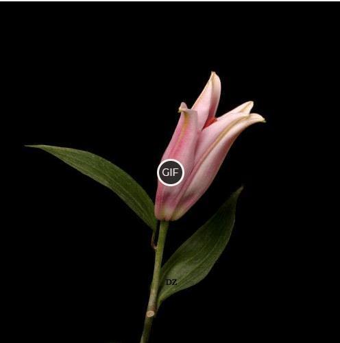 Гифки цветы распускаются на прозрачном фоне