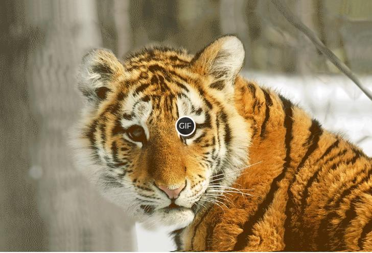 Гифки с тиграми