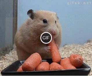 Гифка хомяк ест морковку