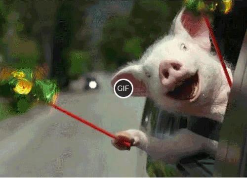 Гифка свинья едет в машине