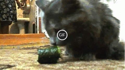 Гифка кот ест огурец