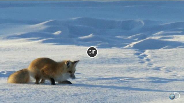 Гифка лиса прыгает в снег