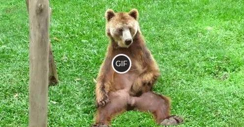 Гифка медведь чешет яйца