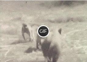 Смешная гифка гифка кабан и обезьяны