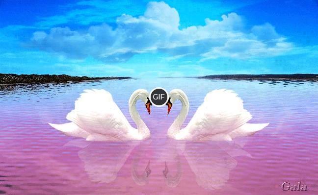 Гифка два лебедя, любовь