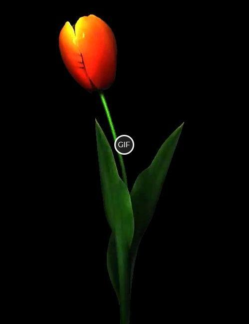 Гифка распускающийся тюльпан на прозрачном фоне