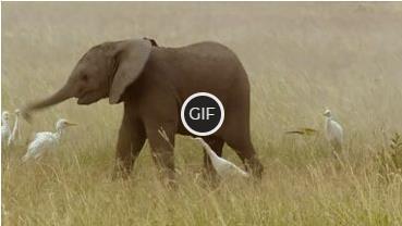 Гифка слонёнок машет хоботом