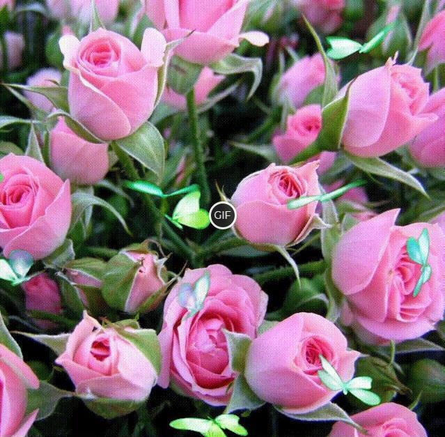 Гифка бабочки и розы