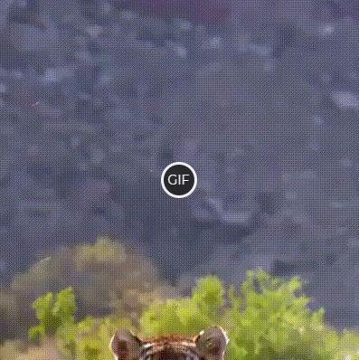 Гифка красивый прыжок тигра