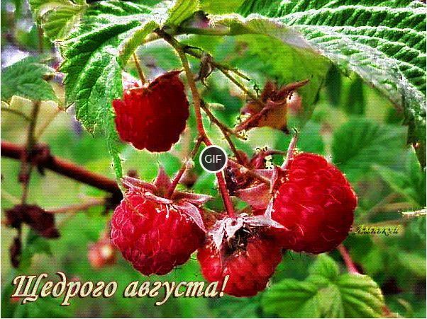 Гифка щедрого малинового августа